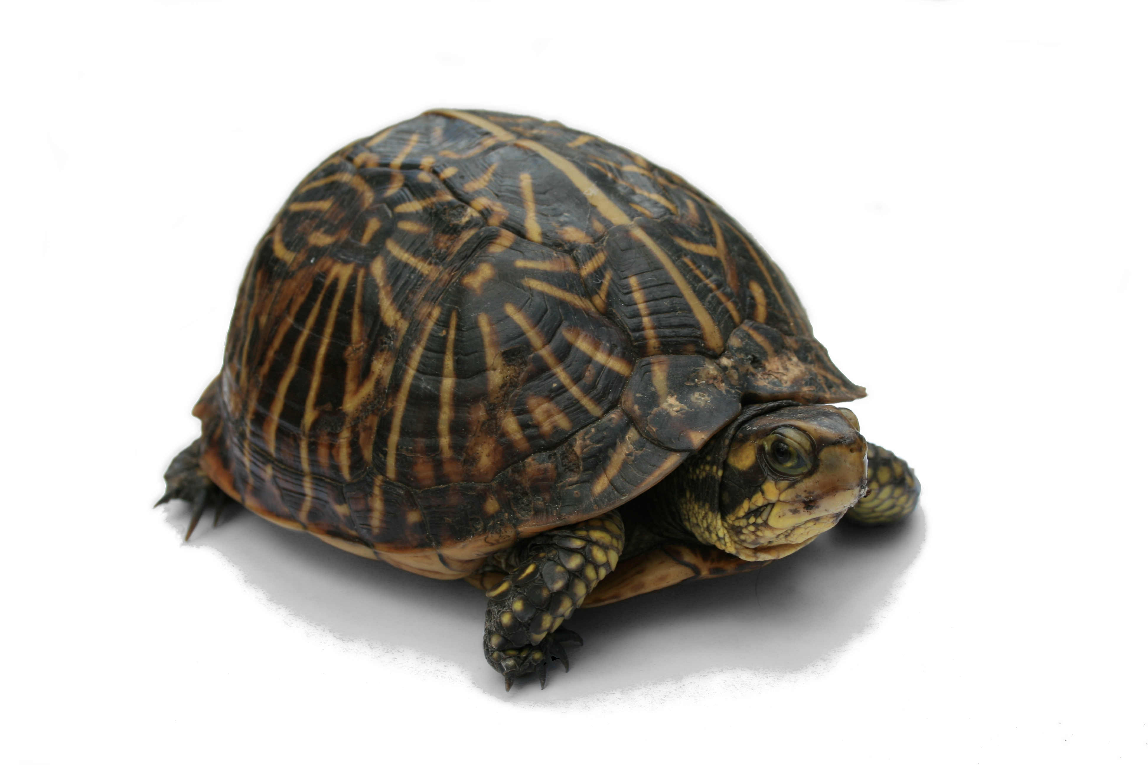 Your Turtle Can Have an Unhealthy Shell! ? Albuquerque VetCo