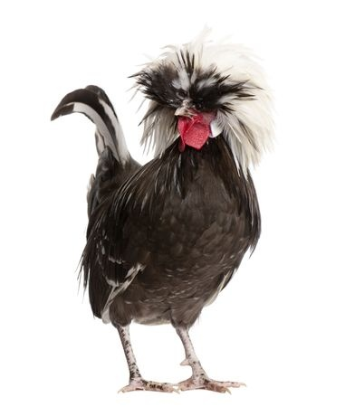 exotic animals chicken veterinarian veterinarian